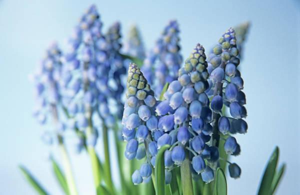 Fragility Photograph - Grape Hyacinths by Petrol