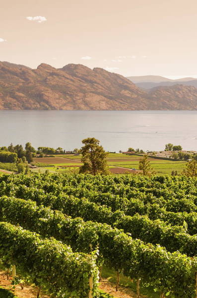 Okanagan Wall Art - Photograph - Grape Vines And Okanagan Lake At by Michael Defreitas / Robertharding