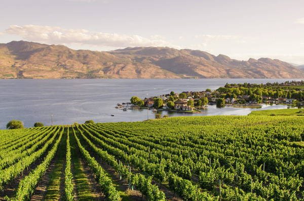 Okanagan Wall Art - Photograph - Grape Vines And Okanagan Lake At Quails by Michael Defreitas / Robertharding