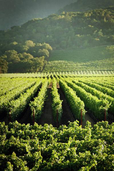 Napa Valley Photograph - Grape Vines Vineyard Fields Of Napa by Yinyang