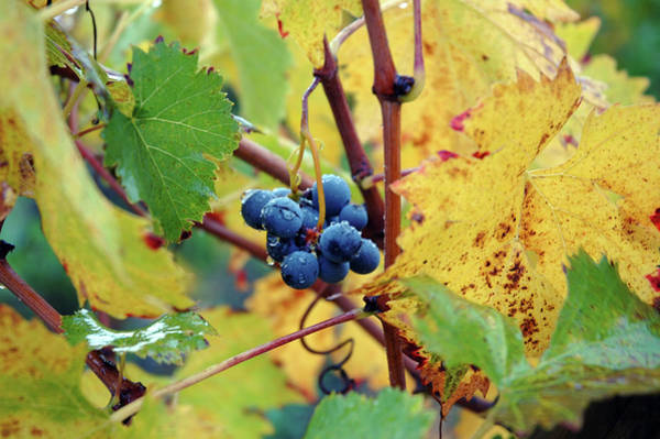 Photograph - Grapes In Tuscany by Mark Duehmig