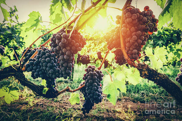 Wall Art - Photograph - Grapes In Vineyard. Tuscany, Italy by Michal Bednarek