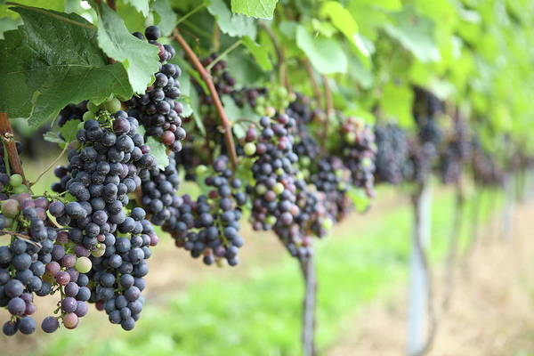 Ripe Grapes Photograph - Grapes In Vinyard by Pannonia