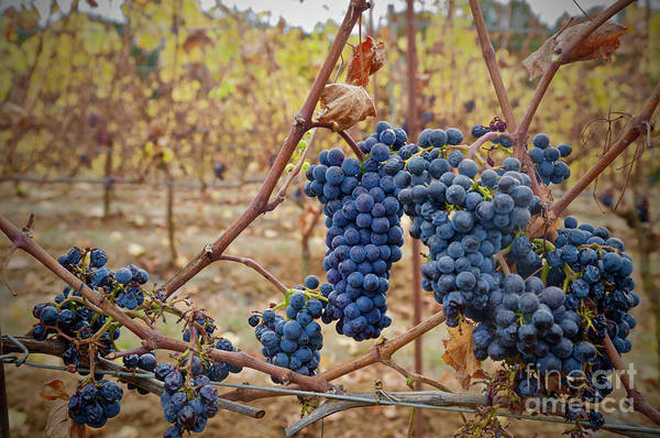 Wall Art - Photograph - Grapes On A Vine by American School