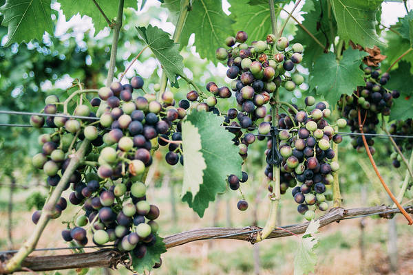 Wall Art - Photograph - Grapes On Grapevine Closeup by Pati Photography