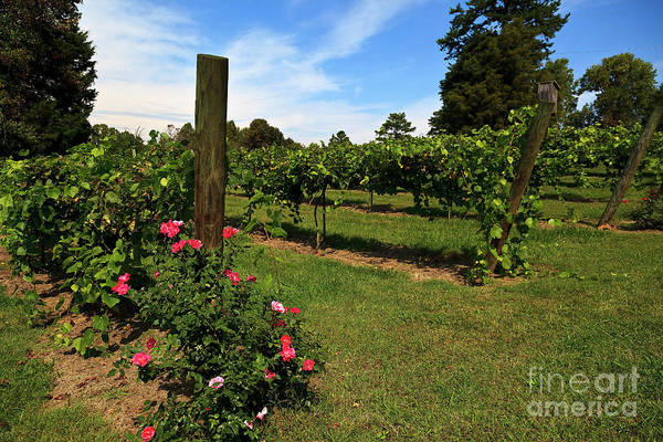 Photograph - Grapevines In North Carolina In The Yadkin Valley Area by Jill Lang