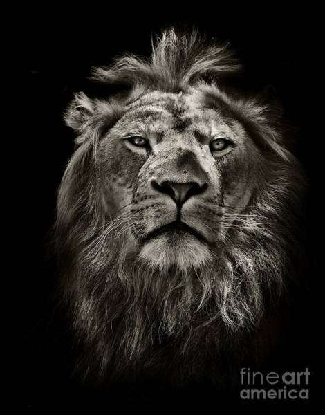 Wall Art - Photograph - Graphic Black And White Lion Portrait by Mark Higgins