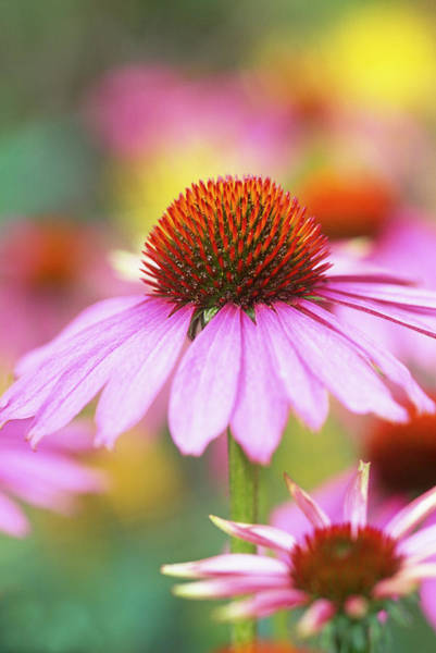 Coneflowers Photograph - Graphic Close Up Of Echinacea Flower by Linda Burgess