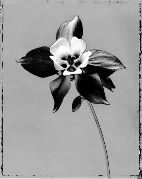 Cut Out Photograph - Graphic Image Of Aquilegia Columbine by Paul Windsor