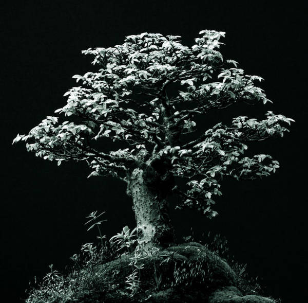 Cut Out Photograph - Graphic Image Of Bonsai Tree by Paul Windsor