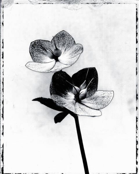 Cut Out Photograph - Graphic Image Of Helleborus Hellebore by Paul Windsor