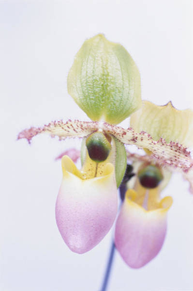 Lady Slippers Photograph - Graphics - Orchid Paphiopedilum Avalon by Linda Burgess
