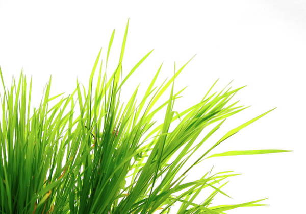 Environmental Issues Photograph - Grass On White by Bgfoto
