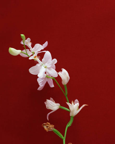 Plant Photograph - Grass Pink Orchid - White Form by Grace Clementine