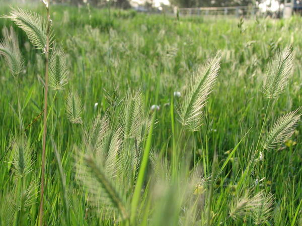 Photograph - Grass Seeds The  Paddock by Joan Stratton