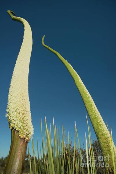 Photograph - Grass Tree Flower Stalks by Kevin Schafer