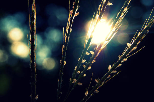 Wall Art - Photograph - Grasses Backlit With Sunflare by Meredith Winn Photography