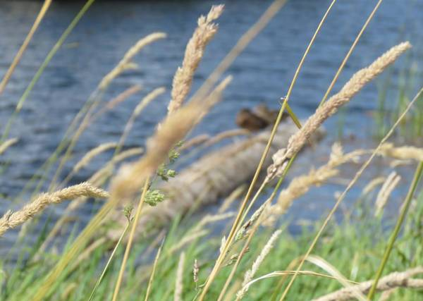 Photograph - Grasses Ducks And Water by Joan Stratton