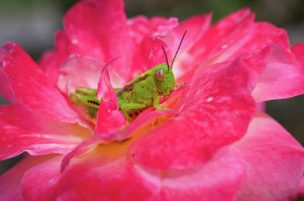 Photograph - Grasshopper And Rose by Todd Henson