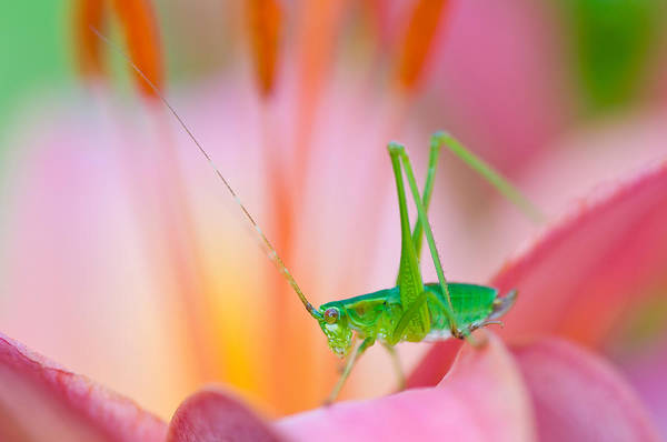 Wall Art - Photograph - Grasshopper On Lily by Michael Lustbader