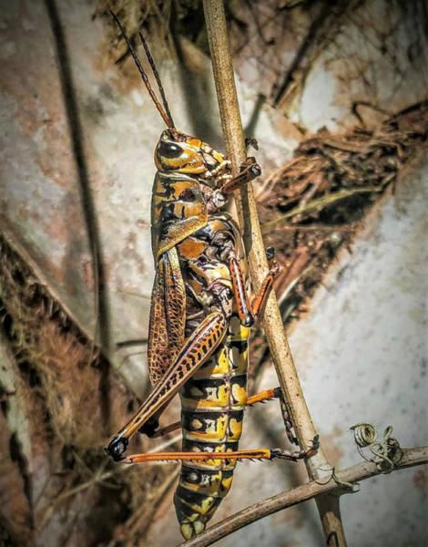 Photograph - Grasshopper by Vincent Autenrieb