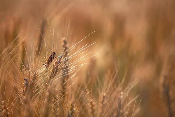 Grasshopper Photograph - Grasshopper Wheat by Todd Klassy