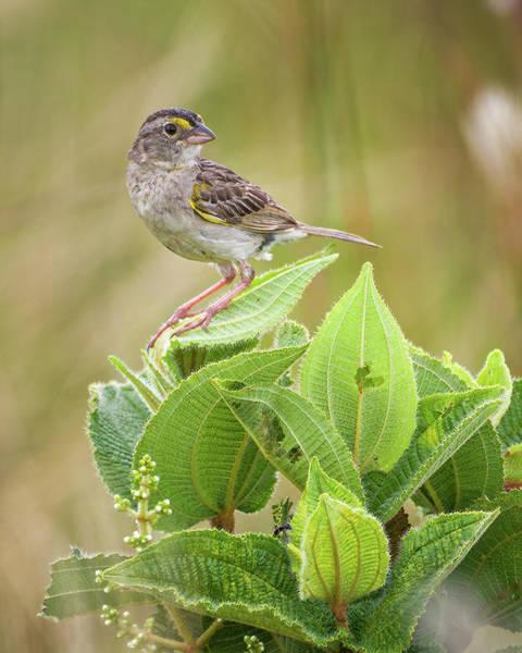 Photograph - Grassland Sparrow Hato Barley Tauramena Casanare Colombia by Adam Rainoff