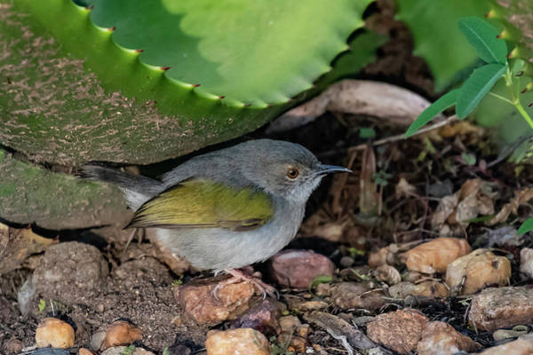 Photograph - Gray-backed Camaroptera by Thomas Kallmeyer