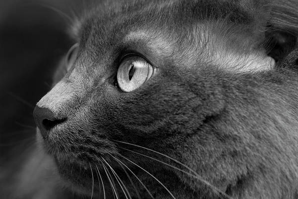 Gray Hair Photograph - Gray Cat by Jaguarko