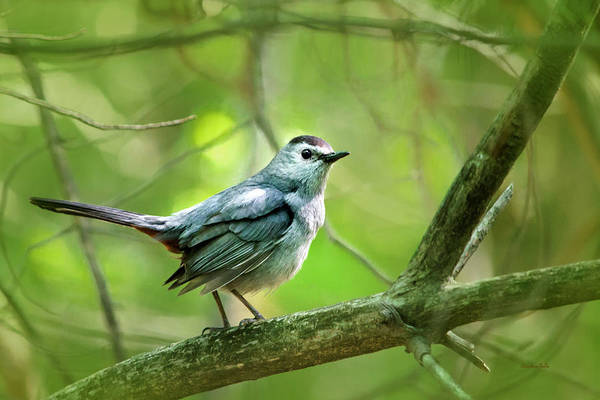 Photograph - Gray Catbird by Christina Rollo
