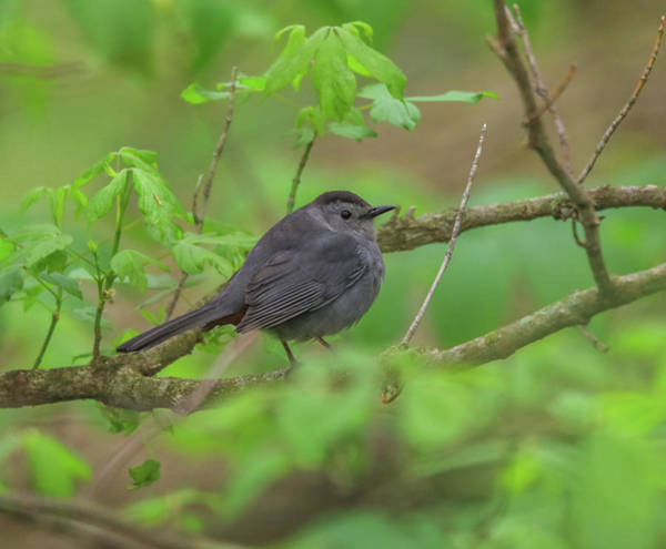 Photograph - Gray Catbird In Green Leaves by Dan Sproul