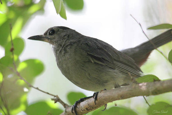 Photograph - Gray Catbird by Trina Ansel