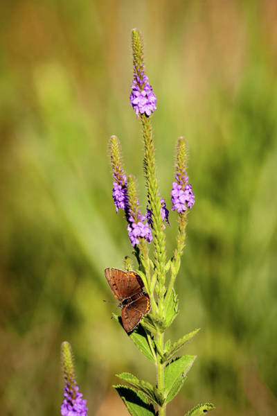 Photograph - Gray Copper On Blazing Star by Jeff Phillippi