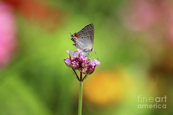 Photograph - Gray Hairstreak Butterfly In Summer by Karen Adams