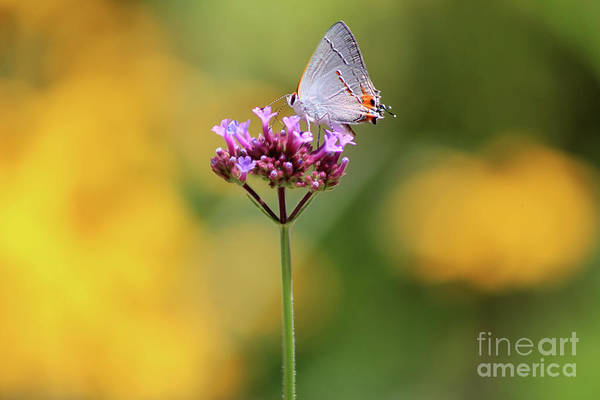 Photograph - Gray Hairstreak In Sunshine 2019 by Karen Adams