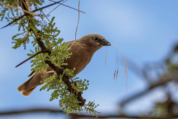 Photograph - Gray-headed Social Weaver by Thomas Kallmeyer