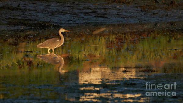 Photograph - Gray Heron Ardea Cinerea Reflected Beiramar by Pablo Avanzini