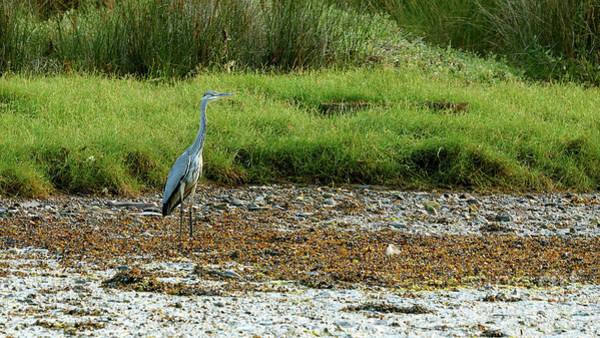 Photograph - Gray Heron Standing At Beiramar by Pablo Avanzini