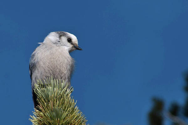 Photograph - Gray Jay With Blue Sky by Cascade Colors