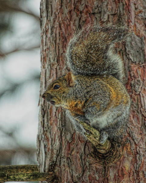 Photograph - Gray Squirrel Profile by Dale Kauzlaric