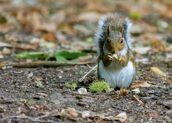 Photograph - Gray Squirrel Stood Upright Eating A Nut by Scott Lyons