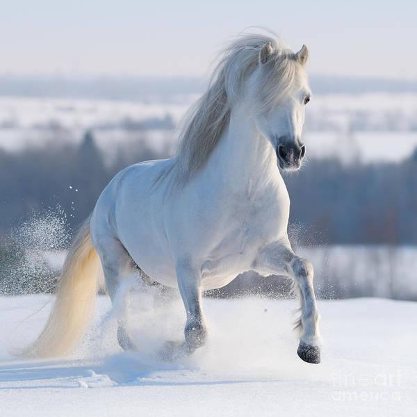 Color Field Wall Art - Photograph - Gray Welsh Pony Galloping On Snow Hill by Abramova Kseniya