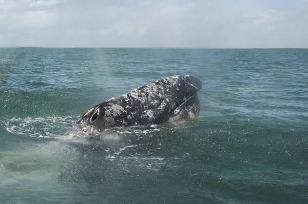 Photograph - Gray Whale In Bahia Magdalena by NaturesPix