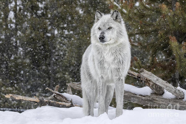 Wall Art - Photograph - Gray Wolf by David Osborn