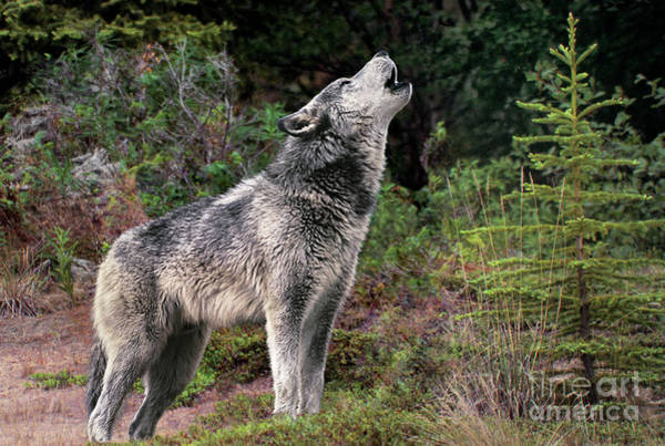 Photograph - Gray Wolf Howling Endangered Species Wildlife Rescue by Dave Welling