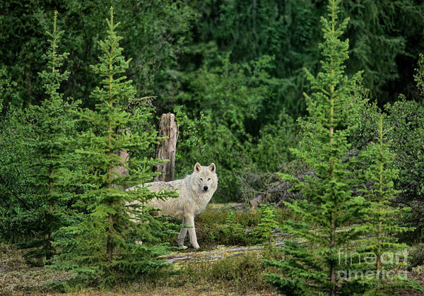 Photograph - Gray Wolf In Taiga Forest Northwest Territories Canada by Dave Welling