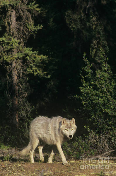Photograph - Gray Wolf In The Northwest Territories Canada by Dave Welling