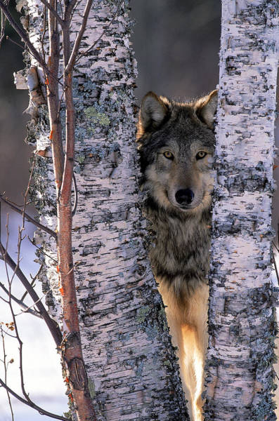 Woodland Photograph - Gray Wolf Near Birch Tree Trunks, Canis by William Ervin
