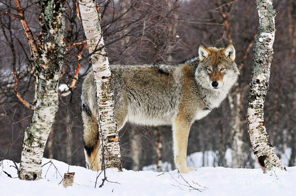 Wall Art - Photograph - Gray Wolf Norway by Jasper Doest