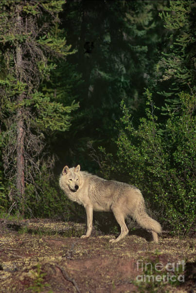 Photograph - Gray Wolf Poses In Taiga Forest Canada by Dave Welling